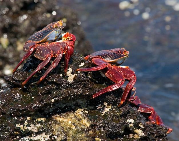 Op de rotsen zitten verschillende rode krabben