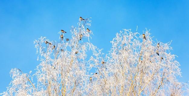 Op de takken van de besneeuwde berken zitten vogels in het zonnige weer_