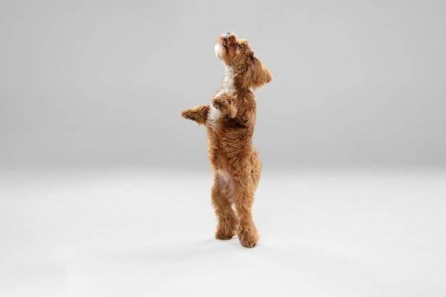 Op de vlucht. maltipu kleine hond poseren.