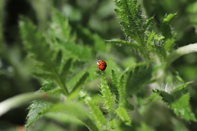 Op een zonnige dag loopt een rood lieveheersbeestje op pluizige groene bladeren