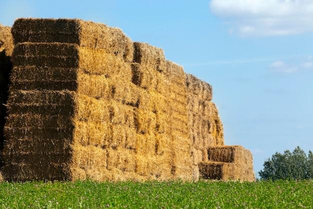 Op elkaar gestapeld in een hoge hoop gestapeld stro van een vierkante vorm, wordt opgeslagen op het grondgebied van een landbouwveld, een zomerlandschap met een blauwe lucht