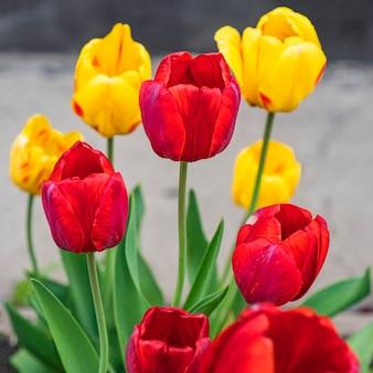 Op het perceel groeien kleurrijke gele en rode tulpen met groene bladeren. rode en gele tulpen