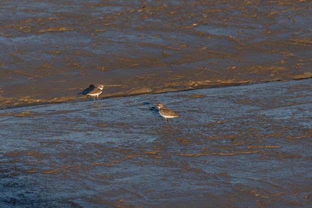 Op het strand in de schemering zijn er vogels op zoek naar voedsel