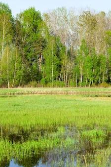 Op moerassige plek in het voorjaar aan het water groeit groen gras