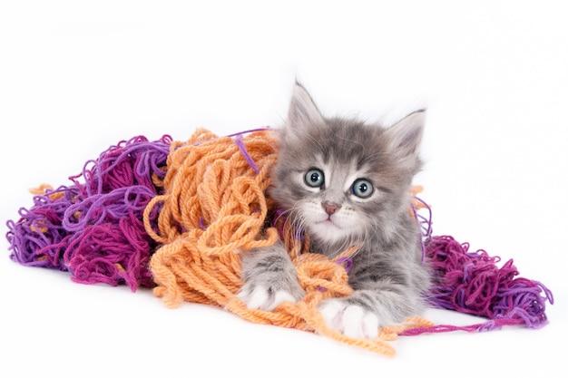 Op zoek naar grijs kitten spelen met gekleurde wol. witte achtergrond.