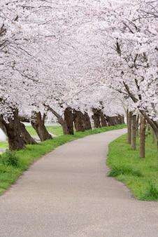 Opdoemende de bloesemachtergrond van de sakurakers in de lente