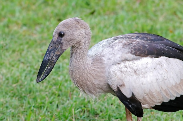 Open-gefactureerde ooievaar anastomus oscitans mooie vogels van thailand