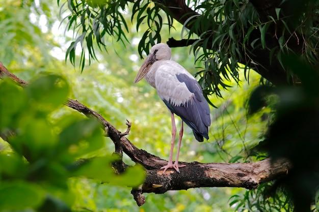Open-gefactureerde ooievaar aziatische openbill anastomus oscitans prachtige vogels van thailand