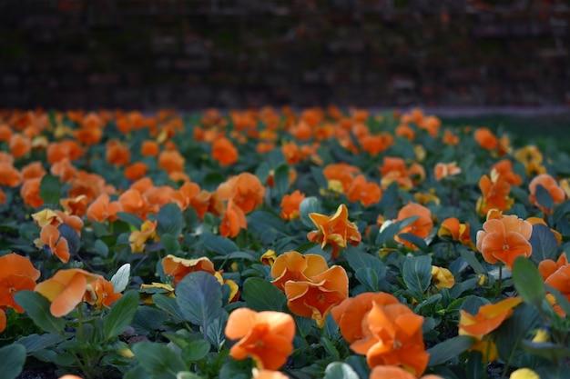 Open plek van vers bloeiende tulpen