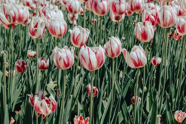 Open plek van wit-bordeauxrode tulpen. natuurlijke achtergrond voor uw projecten.