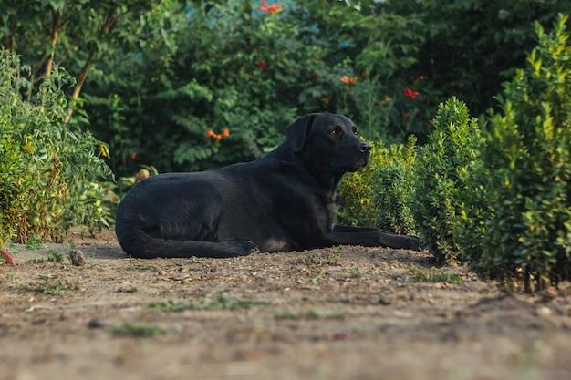 Openluchtportret van een mooie zwarte zitting van labrador in de tuin. huisdieren op straat. vriend van de mens. gids.