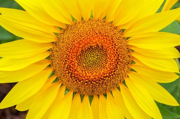 Opgeblazen grote gele bloem van een zonnebloemclose-up