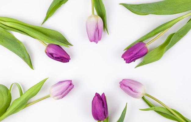 Opgeheven mening van purpere tulpen die op witte achtergrond worden geschikt