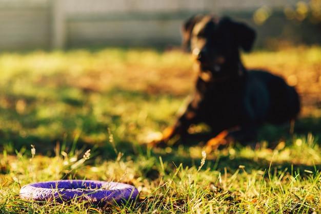 Opgeleide waakhond achter een stuk speelgoed op speelplaats. cynoloog metgezel op training buiten
