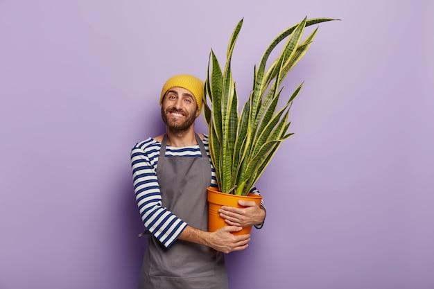 Opgetogen mannelijke tuinman draagt pot met decoratieve sansevieria plant met gouden rand
