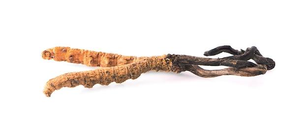 Ophiocordyceps sinensis geïsoleerd op een witte achtergrond