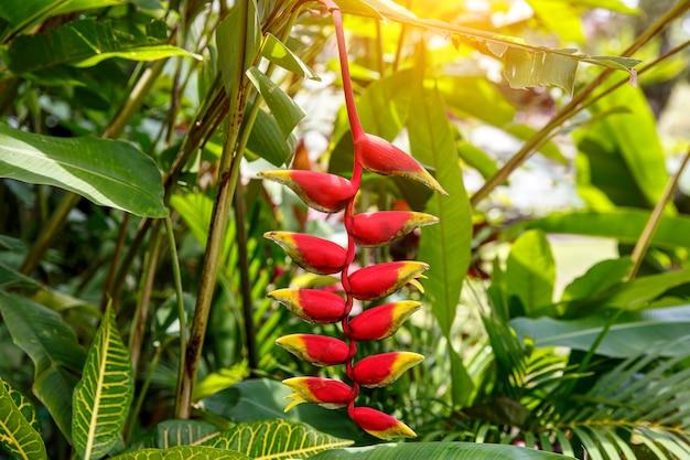 Opknoping kreeft klauw, heliconia rostrata, bloem in bos.