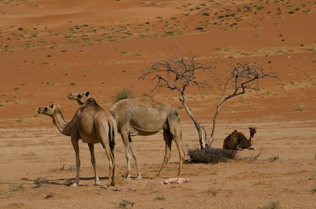 Opname van drie kamelen midden in de woestijn