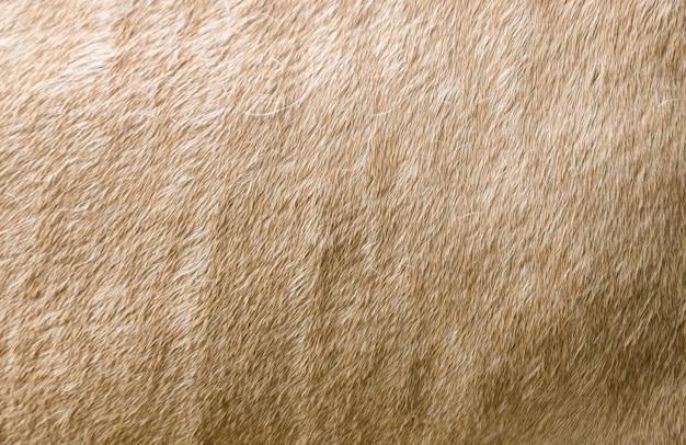 Oppervlakte vacht crème paard