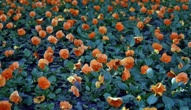 Opruimen van bloeiende tulpen