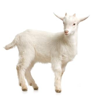 Opstaan van het jonge geitje geïsoleerd op een witte achtergrond