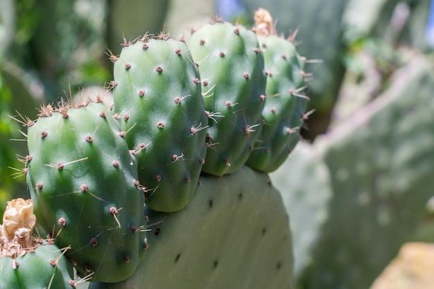 Opuntia ficus-indica (fichi di india), sicilië, italië