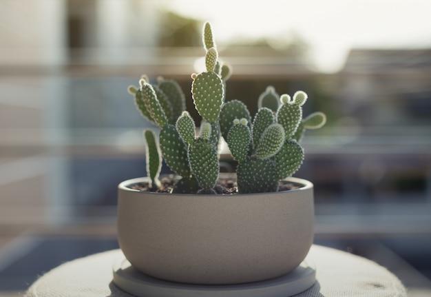 Opuntia of bunny oren cactus in een grijze keramische pot, opuntia microdasys (lehm.) lehm. ex pfeiff. stekelige peer met konijnenoor
