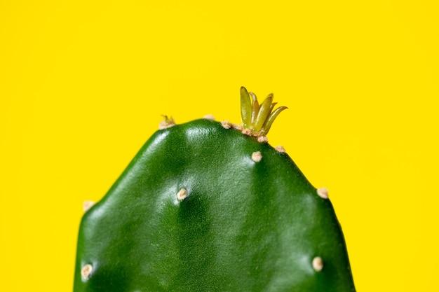 Opuntia spruit in de vorm van een kroon op een grote plant op een gele achtergrond voor het ontwerp van een ansichtkaart, notitieboekje of kalender. detailopname