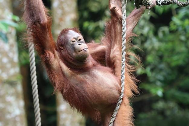 Orang-oetan die op een schommel speelt en een touw vasthoudt