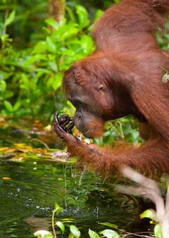 Orang-oetan drinkt water uit de rivier in de jungle. indonesië. het eiland kalimantan (borneo).