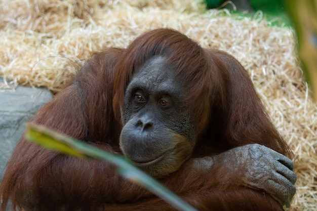 Orang-oetan in de dierentuin