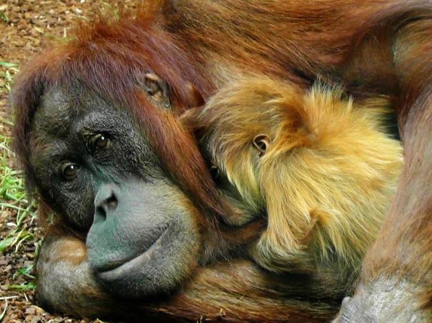 Orang-oetan met haar kindje
