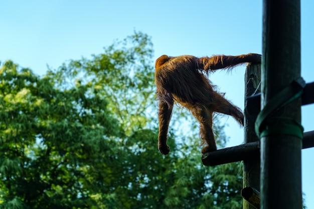 Orang-oetan op zijn rug op een paar boomstammen en met uitgestrekte armen naar de grond kijkend.