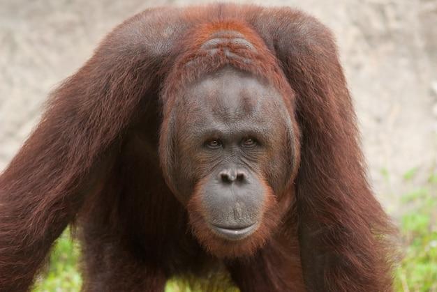 Orang-oetan (pongo pygmaeus) worden momenteel alleen gevonden in de regenwouden van borneo en sumat