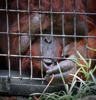 Orang-oetan reikt naar een gras door de kooi