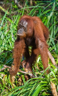 Orang-oetan staat op zijn achterpoten in de jungle. indonesië. het eiland kalimantan (borneo).