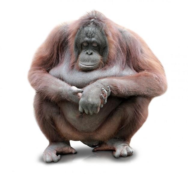 Orang-oetan utan zitten geïsoleerd