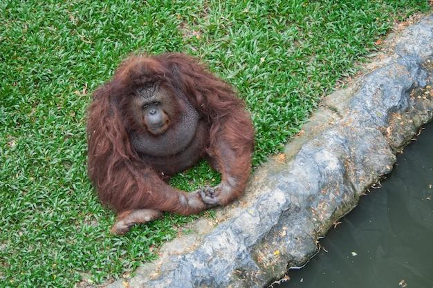 Orang-oetan zit op het gras