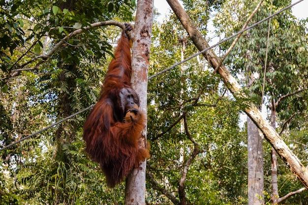 Orangoetan die een boom zit