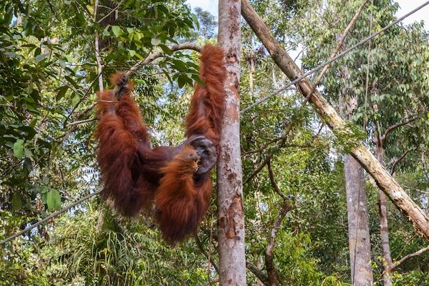 Orangoetan die op een tak, borneo maleisië hangen