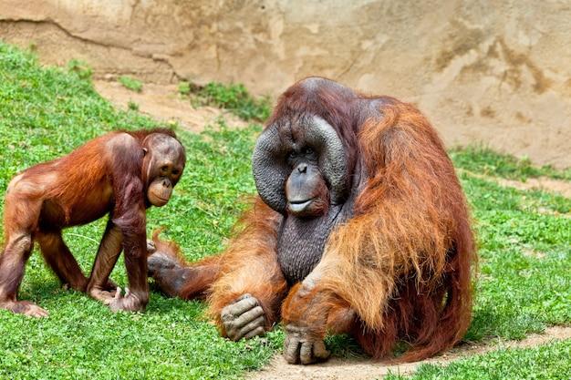 Orangoetan van borneo, pongo pygmaeus