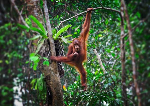 Orangutang in actie in het park van maleisië