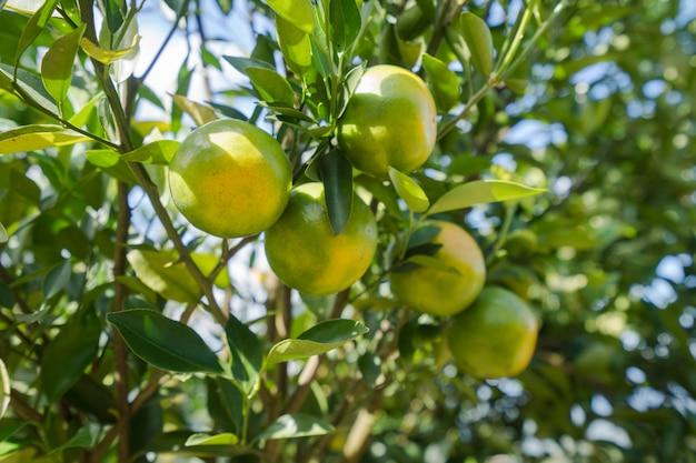 Oranje aanplantingstuin, rijpe sinaasappel die op een boom hangt