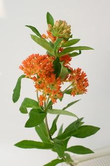 Oranje asclepias-bloem voor achtergrond