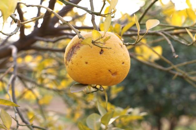 Oranje besmet met ziektebacteriënvirus