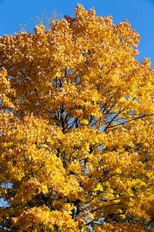Oranje blad van esdoorn in de vroege herfst, warm weer in september