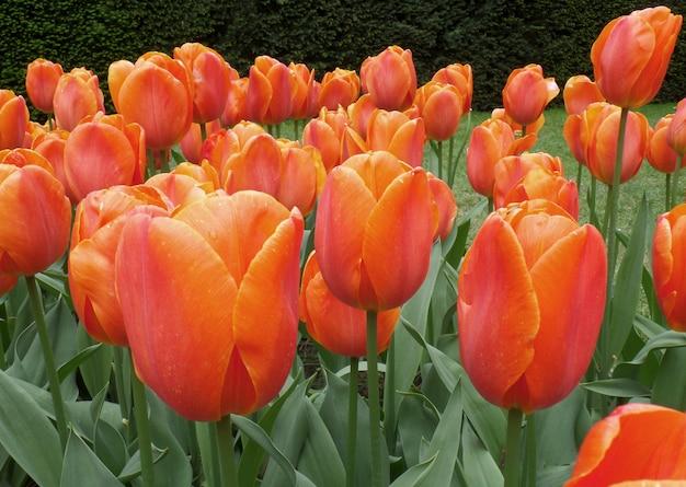 Oranje bloeiende tulp bloemen in lente douche