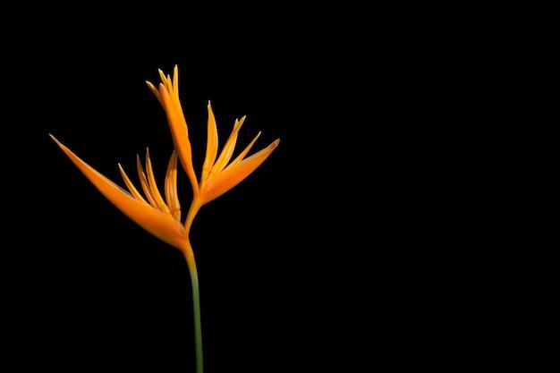 Oranje bloem paradijsvogel geïsoleerd op black