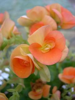 Oranje bloemen, bloemen