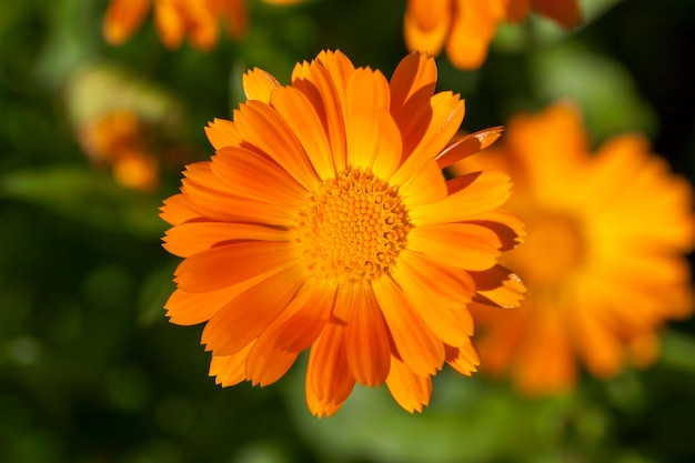 Oranje bloemen van calendula